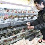 Đơn hàng nhặt trứng gà nam tại Kagoshima