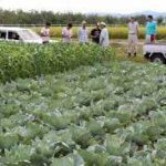 Đơn hàng nông nghiệp bắp cải tại Kagoshima