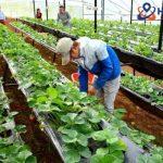 Đơn hàng nông nghiệp trồng, chăm sóc và thu hoạch các loại đậu tại tỉnh Kaghoshima