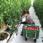 Đơn hàng nông nghiệp cà chua tại Kumamoto