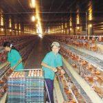 Đơn hàng nhặt trứng gà nữ tại Kagoshima