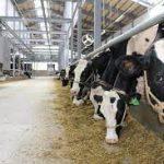 Đơn hàng đặc định chăn nuôi bò kagoshima 1