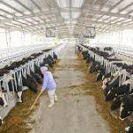 Đơn hàng đặc định chăn nuôi bò 2 kagoshima